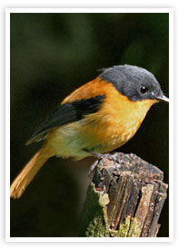 The Black-and-orange Flycatcher Wildlife Munnar Kerala munnarhotels.com