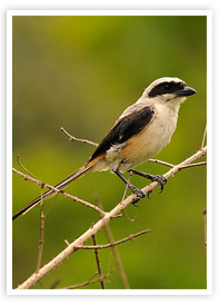 Long-tailed Shrike Wildlife Munnar Kerala munnarhotels.com