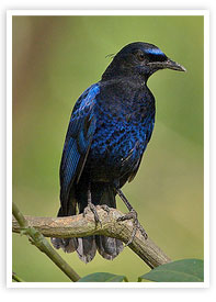 The Malabar Whistling Thrush Wildlife Munnar Kerala munnarhotels.com