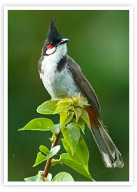 The Red-whiskered Bulbul Wildlife Munnar Kerala munnarhotels.com